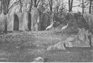 Kraanvogels in het Julianapark