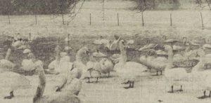 Zwanen in het Julianapark